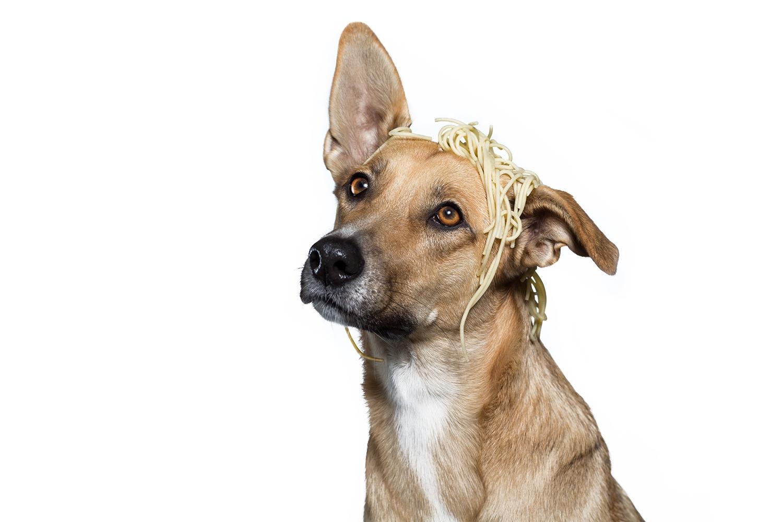 bielefeld-hundefotografie-spaghetti-studiofotografie